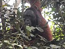 orangutan tour safari at Tanjung Putting national park, trekking expedition, rari;
