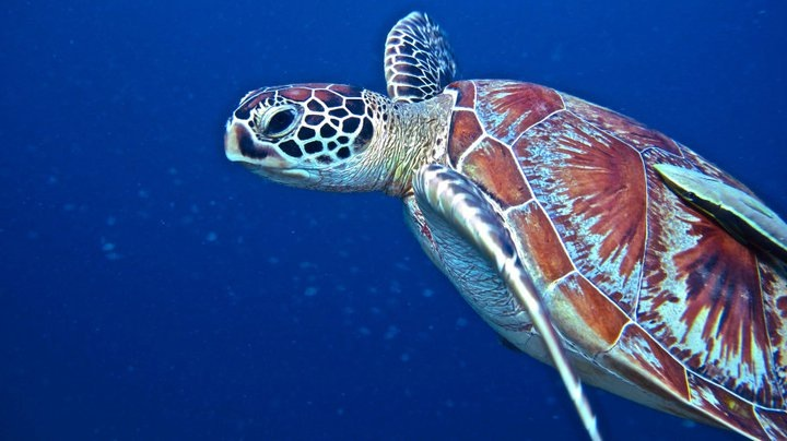 turtle diving, derawan, kakaban, lake, snorkeling yelly fish, dive boat, lodge, ticket, tour trip, dive master