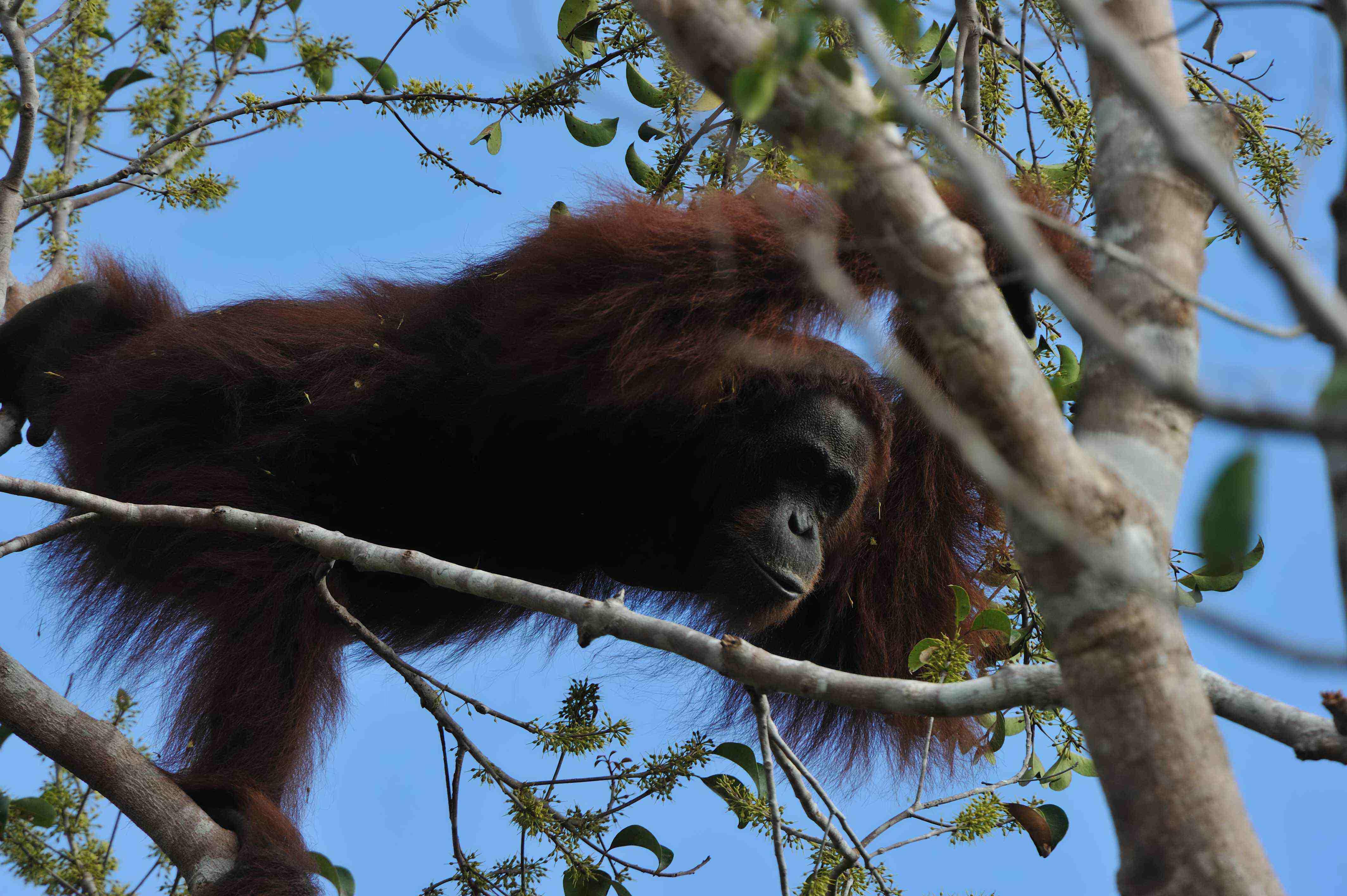 kalimantan,orangutan,forest,wildlife,reservation,booking,hotel,lodge,jungle,flora,fauna,borneo,accommodation,ticket,flight,airline