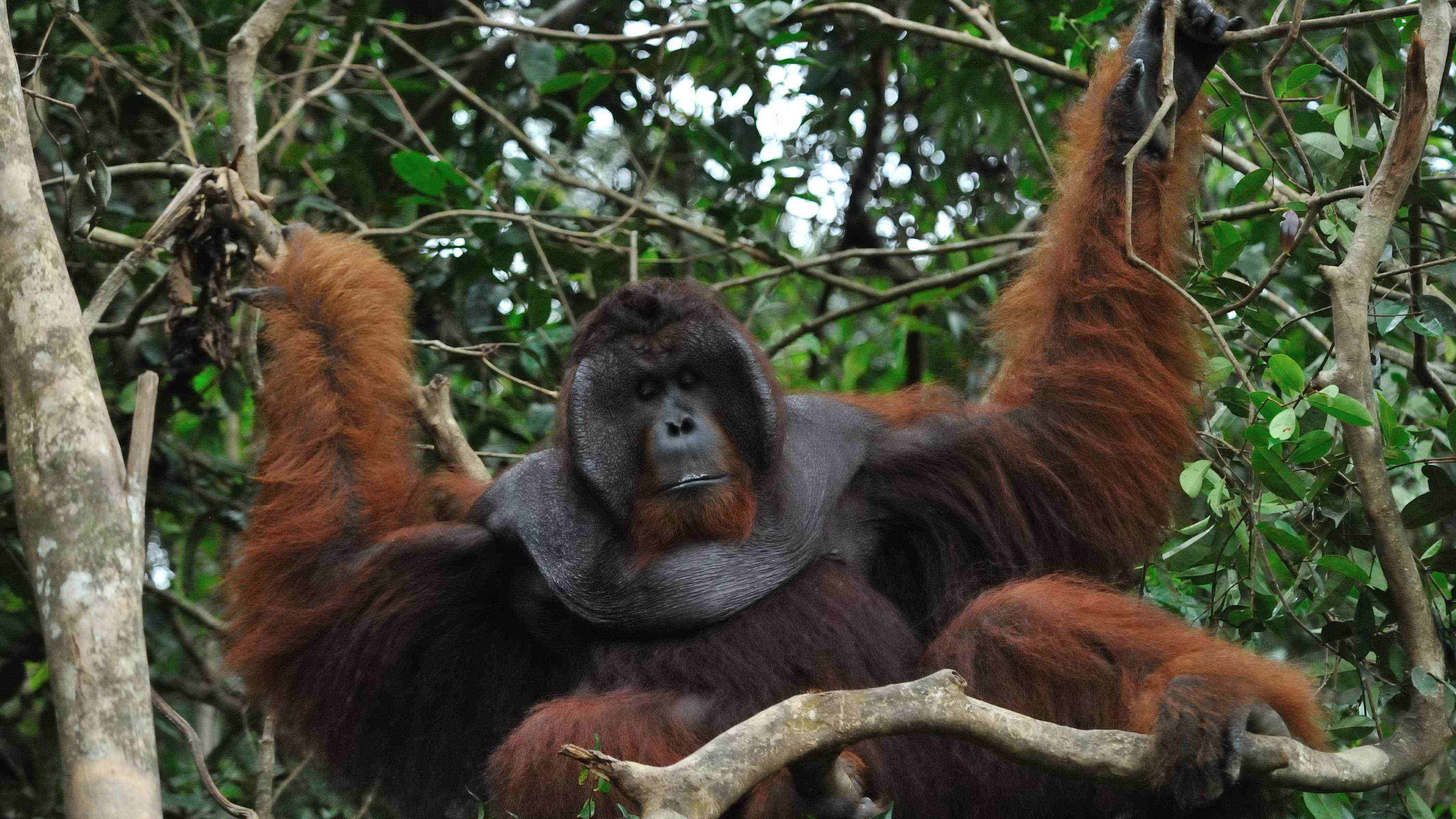 orangutan, camp leakey, tanjung puting, jungle cruise, wildlife safari, tour, hike trek, forest, rain forest, klotok boat, trip, guide, jungle, proboscis monkey, longnose monkey, kalimantan, borneo